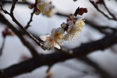 Plum blossoms. Ih full bloom Stock Photos