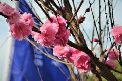 Plum blossoms just blooming in spring stock photos