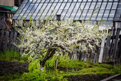 Plum blossoms late summer royalty free stock photo