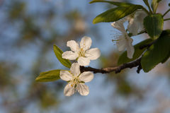 Plum blossoms Stock Images