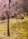 Plum Blossoms. In the midst of winter, before snow melts and the swallow returns, plum trees blossom onto the barren landscape, bracing the harshness of winter Stock Photo
