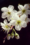 Plum Blossoms - New Beginning Stock Photos