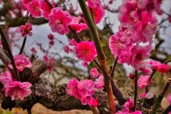 Plum Blossoms på en fruktträdgård i  för JÅ-yÅ, Kyoto-fu royaltyfria bilder