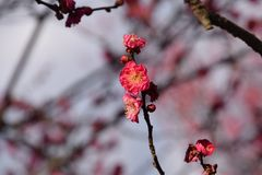 Plum blossoms. Ih full bloom Stock Photography