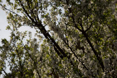 Plum blossoms and plums Royalty Free Stock Images