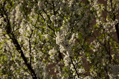 Plum blossoms and plums Stock Images