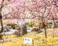 Plum Blossoms royalty free stock image