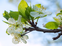 Plum blossoms and small spider Stock Photo