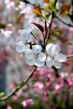 Plum blossoms in spring. Spring plum blossoms in full bloom Royalty Free Stock Photos