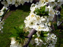Plum blossoms. In a spring Stock Photography
