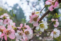 Plum blossoms in spring. A close-up of pink Japanese plum blossom flowers on a branch in spring royalty free stock photos