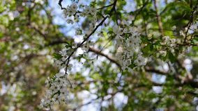 Plum Blossoms in the Spring stock video footage