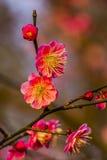 Plum Blossoms West Lake Hangzhou Jiangsu China Royalty Free Stock Photography