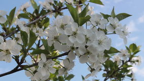 Plum blossoms stock video