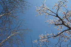 Plum Blosssom lizenzfreie stockfotos