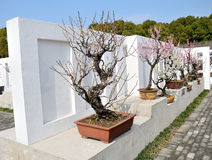 Plum Bonsai. In Bose wall Royalty Free Stock Images