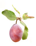 Plum with branch Royalty Free Stock Images