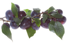 Plum branch Royalty Free Stock Photo