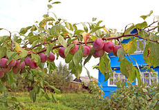 Plum on branch Royalty Free Stock Image