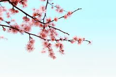 Plum branch Stock Images
