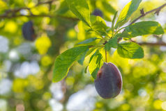 Plum on a branch Stock Photography