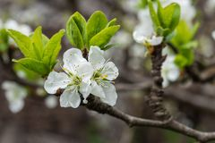 Plum branch in a beautiful white blooming royalty free stock photography