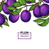 Plum branch border. Hand drawn isolated fruit. Summer food illustration. Stock Image