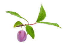 Plum on a branch closeup on a light background Royalty Free Stock Photo