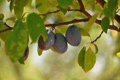 Plum on a branch Stock Photo