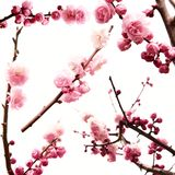 Plum branch with flowers. Isolated on white Stock Photos