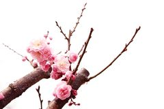 Plum branch with flowers. Isolated on white Royalty Free Stock Images