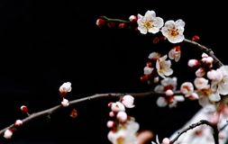 Plum branch with flowers. Background, isolated. shanghai china. Plum branch with flowers,Isolated on black.Close up of a plum blossom flower Stock Photography