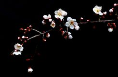 Plum branch with flowers. Background, isolated. shanghai china. Plum branch with flowers,Isolated on black.Close up of a plum blossom flower Royalty Free Stock Photos