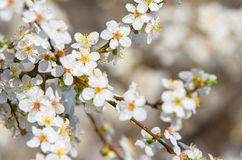 Plum branch with flowers on a sunny day Royalty Free Stock Photos