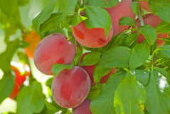 Plum branch with fresh fruits Royalty Free Stock Image