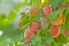 Plum branch with fresh fruits Stock Photo