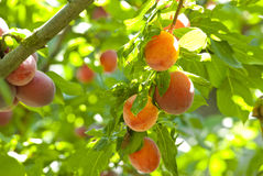 Plum branch with fresh fruits Stock Image