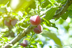 Plum branch with fresh fruits Royalty Free Stock Photos