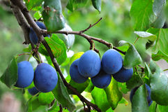 Plum. Branch with garden-stuffs Stock Images
