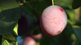 Plum on a branch stock video footage