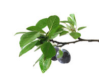 Plum branch isolated Royalty Free Stock Image