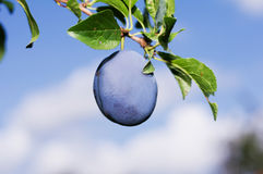 Plum on branch Stock Photography