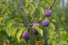 Plum branch with ripe berries Stock Photography
