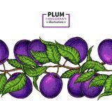 Plum branch seamless  border. Hand drawn isolated fruit. Stock Photo