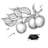 Plum branch vector drawing. Hand drawn isolated fruit. Summer fo. Od engraved style illustration. Detailed vintage botanical sketch. Great for label, poster stock illustration