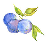Plum on branch. Watercolor illustration on white background Royalty Free Stock Image