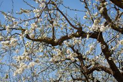 Plum branches full of white flowers on blue sky background. Typical spring background stock photography