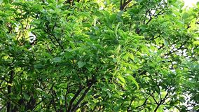 Plum branches and leafs blowing in the wind. On a sunny summer day with a sunny warm look stock video footage