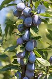Plum on the branches of a tree.  stock photo