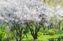 Plum cherry blossom trees Stock Photos